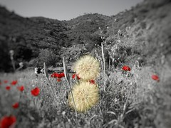 poppies black and red (panoskaralis) Tags: poppies red blackwhite blackandwhite bike idealbikes nature outdoor landscape plants flowers wildflowers mountains mountainview mountainside lesvos lesvosisland mytilene greece greek hellas hellenic nikon nikoncoolpixb700