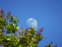 DSC04123p (baskill) Tags: moon full gibbous waxing sussex blues skies green tree blue