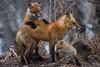 IMG_3280 red fox (starc283) Tags: starc283 wildlife flickr flicker fox kits red canon 7d nature natures finest nebraska watcher outdoors outdoor predator prairie kit foxes smug bug animal grass bear pet mammal naturewatcher naturesfinest