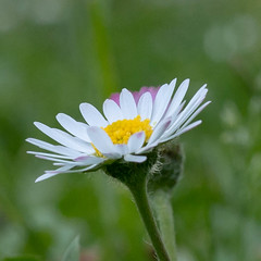 daisy (gaspare_f) Tags: nature flower plant daisy summer closeup springtime greencolor outdoors petal meadow beautyinnature white macro freshness blossom season flowerhead grass chamomileplant