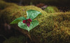 Harbinger of Spring (Kathy Froilan   wandering.in.the.woods) Tags: trilliumerectum flower petals leaves red trillium moss log lichen spring canoneos5dmarkii canonef24105mmf4lisusm