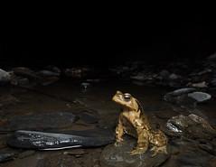Single dog (ZY Yao) Tags: vertebrate amphibia anura bufo toad wildlife animal pond water night dark yellow herp