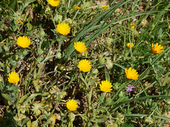 Compositae, Fitou, Narbonnaise Natural Regional Park (Niall Corbet) Tags: france occitanie languedoc roussillon aude fitou narbonnaise parcnaturelregional regionalpark garrigue garigue compositae yellow flower