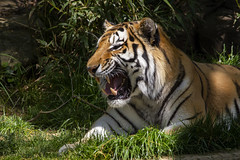 National Zoo 3 May 2018  (961) Tiger (smata2) Tags: tiger tigre flickrbigcats bigcats smithsoniannationalzoo zoo zoosofnorthamerica itsazoooutthere animals zoocritters