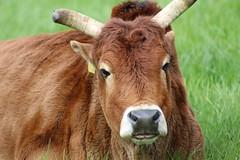 Zebu  Caroxi (excellentzebu1050) Tags: zebu zebucattle miniaturezebu animal animalportraits closeup farm field outdoor coth coth5