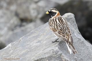 Lapland Longspur (breeding male)