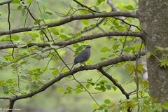 Catbird (Amore_Photography) Tags: birds birdwatching bird birdlove birdphotography warbler robin woodpecker bluejay hiking hike walk wildlife nature nikon spring statenisland newyork nyc parks explore outdoors colors relax