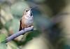 Rufous Hummingbird -- Female (Selasphorous rufus); Santa Fe National Forest, NM, Thompson Ridge [Lou Feltz] (deserttoad) Tags: wildlife nature newmexico behavior flight desert bird wildbird hummingbird mountain nationalforest