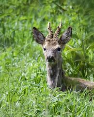 """Roe DeerIn """"Explore"""" 13/5/18 (Alan McCluskie) Tags: deer roedeer mammal ukwildlife antlers animals nature wildlife canon7dmk2 sigma150600mmsp inexplore explore explored swindon"""