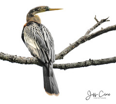 Female Anhinga (Jeff Clow) Tags: 2018 jeffclowphototours jeffrclow may texas usa beautyinnature birding birds nature offthebeatenpath anhinga