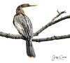 Female Anhinga (Jeff Clow) Tags: 2018 jeffclowphototours jeffrclow may texas usa beautyinnature birding birds nature offthebeatenpath anhinga