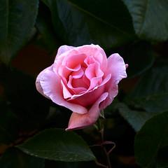 Al mig de la foscor (queropere) Tags: rosa jardí llum foscor planta salt vida llibertat expressió cultura respecte queropere