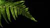 low fern (johndifool) Tags: lowkey macromondays green fern farn grün drops water tropfen