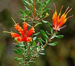 "FLOWER POWER! (Uhlenhorst) Tags: 2012 australia australien plants pflanzen flowers blumen blossoms blüten travel reisen unidentifiedplant ""doublefantasy"""