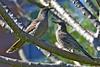 Little Wattlebirds_9851 (Anthochaera chrysoptera) (Neil H Mansfield) Tags: anthochaerachrysoptera littlewattlebird lille wattle nature native nsw laurieton australia camdenhead