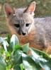 Gray Fox Kit (Monkeystyle3000) Tags: gray fox kit wildlife nevada