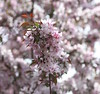 Cherry Blossom (pegase1972) Tags: cherry blossom cherryblossom fleur flower québec qc canada quebec cerisier montérégie monteregie licensed shutterstock eyeem dreamstime