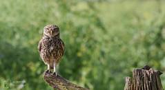 Standing to attention (mikedenton19) Tags: little owl littleowl athene noctua athenenoctua lesgibbonhide eastyorkshire wildlife nature bird birdofprey bop strigiformes 30dayswild
