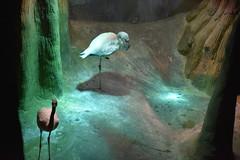 Flamingos (Adventurer Dustin Holmes) Tags: 2018 wondersofwildlife phoenicopteridae wadingbirds flamingoes phoenicopteriformes pinkflamingos chordata flamingo aves animalia