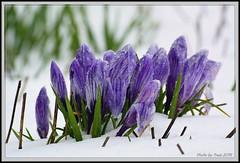 spring_flowers_001 (truszphoto) Tags: spring winter springflowers nikon1v3 nikkor70300cx icestorm