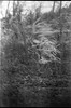 dried grasses, wind, fogged film, Biltmore Estate, Asheville, North Carolina, Brownie Bulls Eye, 620 Kodak TMAX 400, Ilford Ilfosol 3 developer, early April 2018 (steve aimone) Tags: grasses driedgrasses inthewind wind windy foggedfilm biltmore biltmoreestate asheville northcarolina browniebullseyecamera brownie 620 kodaktmax400 film ilfordilfosol3developer mediumformat boxcamera blackandwhite monochrome monochromatic
