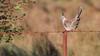 Crested Pigeon (Ocyphaps lophotes) (Arturo Nahum) Tags: australia aves animal arturonahum ave airelibre birdwatcher bird birds wildflife wild nature naturaleza naturephotography pajaro pajaros pinnacles queensland crestedpigeon ocyphapslophotes barbedwire rusty