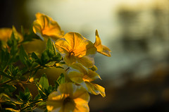 Sunset with Flowers (Bud in Wells, Maine) Tags: flowers backlitcloseup smileonsaturday sunset bokeh