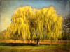 """Dry your tears and shine! (Leigh - """"Alive and Clicking!"""") Tags: tress painterly weepingwillow"""