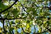 Über mir -Kirschblüten- (MAICN) Tags: 2018 colorfull baum tree ast blüte nature laub frühling blätter leafs natur blossom