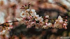Cherry Blossoms (gvonwahlde) Tags: washingtondc cherryblossoms tidalbasin spring flowers canon bloom vonwahlde niftyfifty blossom flower