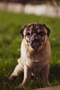 IMG_8698 (ZoRRaW photography) Tags: pug dog