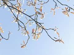 spring lightness (vertblu) Tags: spring springtime sprouting budding blooming blossoms juneberry verdancy twigs lightness youngleaves vertblu moody mood ambiance contrejour backlit backlight floral blueskies lightblue blue delicate delicacy