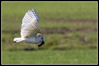 IMG_0165 Barn Owl With Its Prey
