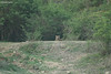Tiger Resting (Deepu Cyriac) Tags: travel karnataka nature nilgiribiosphere nagarhole nagarholenp kabini wildlife westernghats nilgiritahr nilgiriboisphere tiger stripedcat royalbengaltiger bengaltiger indianforest