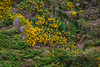 Scotch Broom at the Oregon Coast (Barb Henry) Tags: flowers wild mountain wall rocks scotchbroom nature greens plants oregoncoast pacificnw