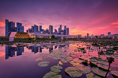 Full Bloom (Scintt) Tags: singapore mbs asm marina bay art science museum water clarity reflection mirror long exposure slow shutter filter golden sunset sun sky clouds dramatic travel tourist attraction exploration lotus movement motion skyline cityscape city urban modern structures architecture buildings offices shenton way cbd scintillation scintt jonchiangphotography hall iconic purple surreal epic symmetry wideangle nikon 1424 haidafilter neutraldensity still calm glow light fiery tones rafflesplace nature pond pool pink dusk twilight waterfront