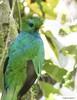 Resplendent Quetzal (Pharomachrus mocinno) (Gmo_CR) Tags: pharomachrusmocinno resplendentquetzal quetzal coludo costarica coronado locosporelbosque monserrat macho male