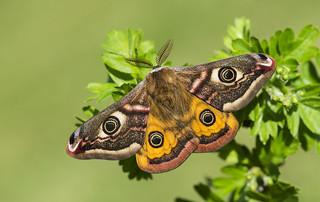 Emperor Moth (Saturnia pavonia).