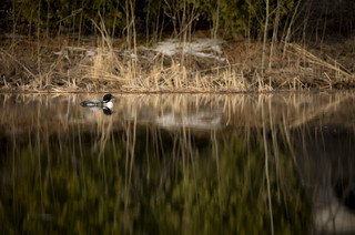 Oooo Loonie! Common Loon migrating through Oakville