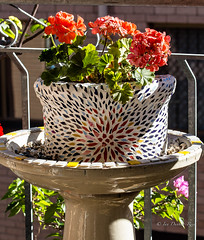 In morning Autumn light (idunbarreid) Tags: pelargoniums mosaicpot birdbath light morning