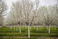 (JasonCameron) Tags: blossom flower orchard apple fruit tree lines green grass dandelions