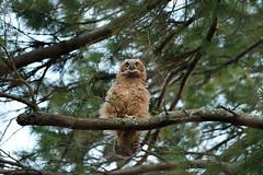 DSC_2225_edit (Hanzy2012) Tags: nikon d500 afsnikkor500mmf4difedii toronto ontario canada greathornedowl bubovirginianus wildlife bird owl nature wild