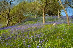 Emmetts Bluebells Tour (Adam Swaine) Tags: emmettsgdns emmetts bluebells woodland woods woodlandfloor nationaltrust kent flora flowers wildflowers trees spring springinkent blue naturelovers nature canon walks england english uk ukcounties counties countryside southeast seasons 2018