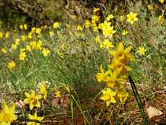 Nacissus assoanus, Pebrieres (Niall Corbet) Tags: france occitanie languedoc roussillon aude pebrieres narcissi narcissus yellow spring daffodil nacissusassoanus