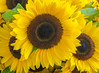Sunflower (Adaptabilly) Tags: bokeh usa food washington travel closeup flower market macro seattle lumixgx7