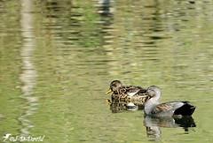 Couple Chipeaux 02 (jean-daniel david) Tags: nature oiseau oiseaudeau reflet canard canardchipeau couple duo lac lacdeneuchâtel yverdonlesbains réservenaturelle volatile