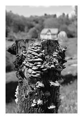 Parasité... (DavidB1977) Tags: fujifilm x100f monochrome bw nb belgique lemarteau tronc champignons