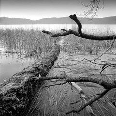 the shore (my analog journey) Tags: d76stock 500cm ilfordfp4 homedeveloped distagon 450c mediumformat 120mmfilm 120 35to220 ilovefilm shore nature laachersee tree filmdev:recipe=12231 ilfordfp4125 kodakd76 film:brand=ilford film:name=ilfordfp4125 film:iso=80 developer:brand=kodak developer:name=kodakd76
