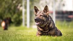 Patience (zola.kovacsh) Tags: outdoor animal pet dog ipo schutzhund german shepherd meadow sun grass