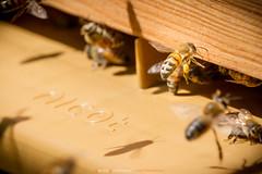 Rentrer du pollen (Guibs photos) Tags: eos7d canonef100400mmf4556lisiiusm canon manfrotto mt055xpro3 trépied tripod anjou maineetloire paysdelaloire france abeille bee ruche hive fly vol